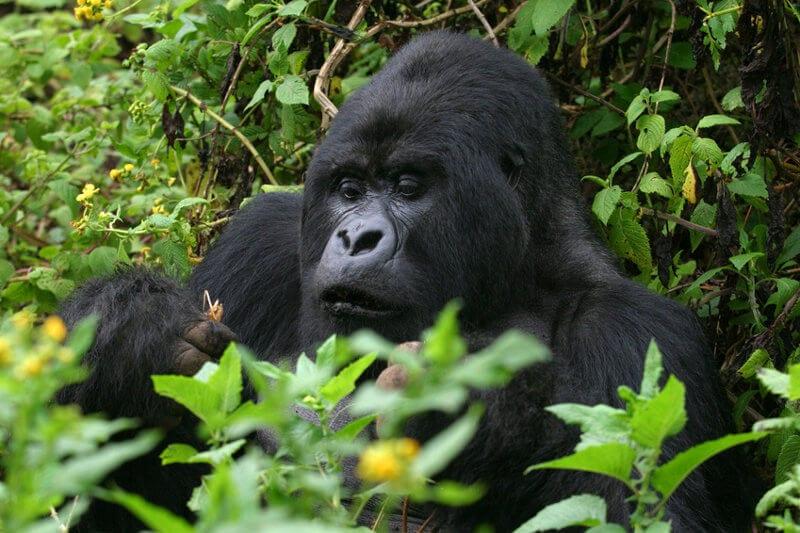 Best Uganda Gorilla Tours