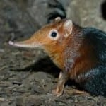Elephant Shrew - the little five