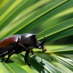 Rhino Beetle - the little five