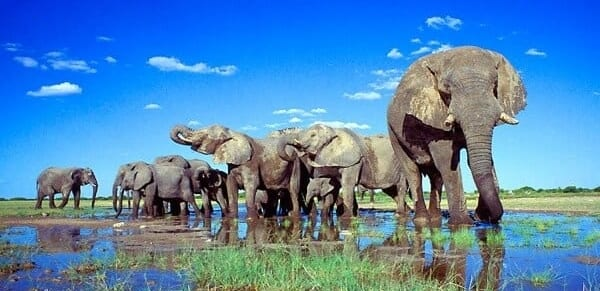 A group of Etoshas huge elephants enjoying the blue skies and shallow waters