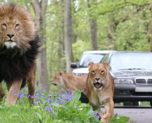 lion and car at longleat safari park