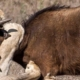 2 lions bringing down a brown antelope, with male lion biting antelopes neck