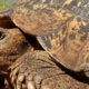 Close up of head and front legs of a leopard tortoise (one of the little five animals) walking on dry mud