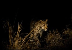 Spot leopards by night on a night safari