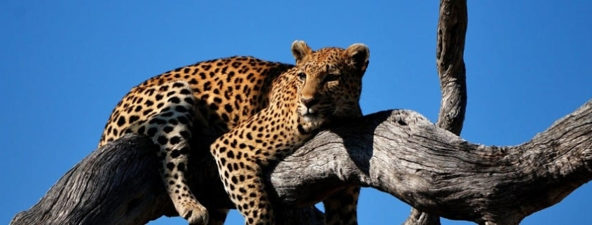 Leopard lies in thick branch of dead tree with bright blue sky behind