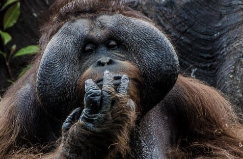 Male orangutan sitting in front of tree with hand over its mouth