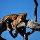 leopard lies on the branch of a sparse tree, with blue sky behind