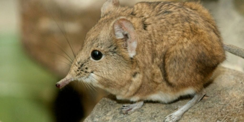 elephant shrew standing on rock, part of the little five african animals