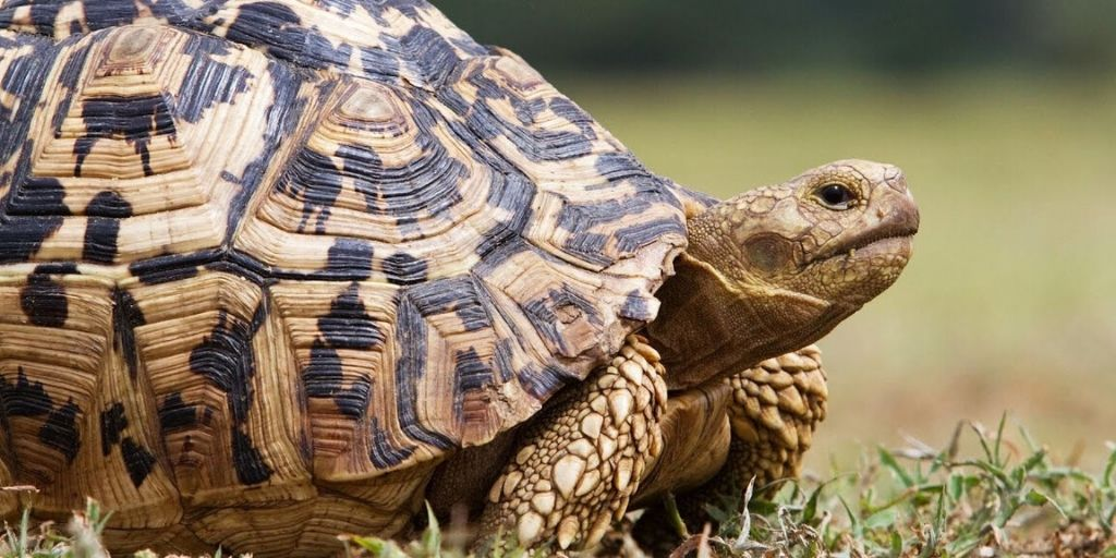 gound-level picture of front end of a leopard tortoise, one of the little five