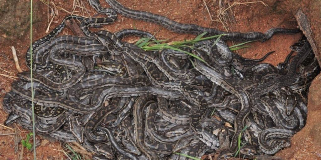 A nest of snakes (African pythons to be exact!)