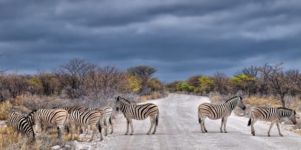 family of zebras stand on gravel road under a stormy sky