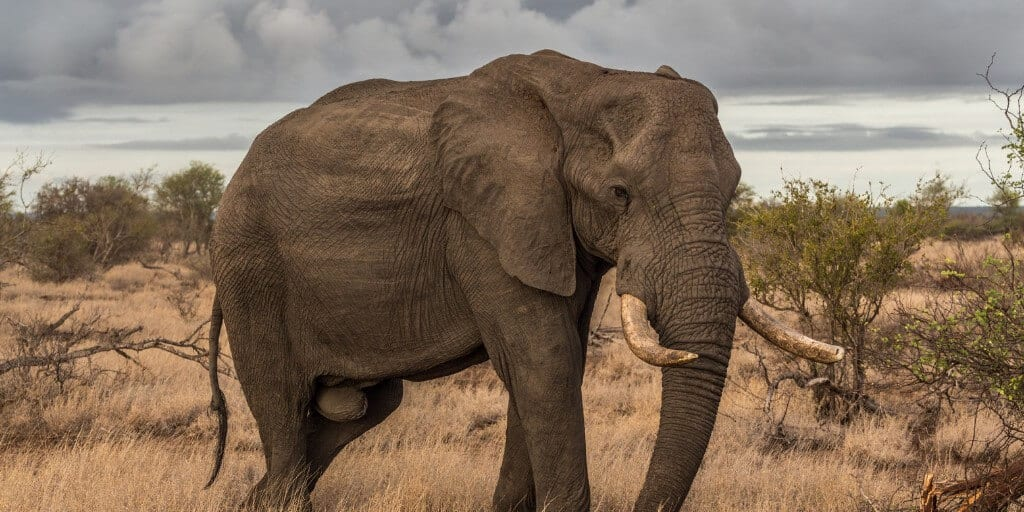 African elephant walking in scrub, one of the most dangerous animals in Africa