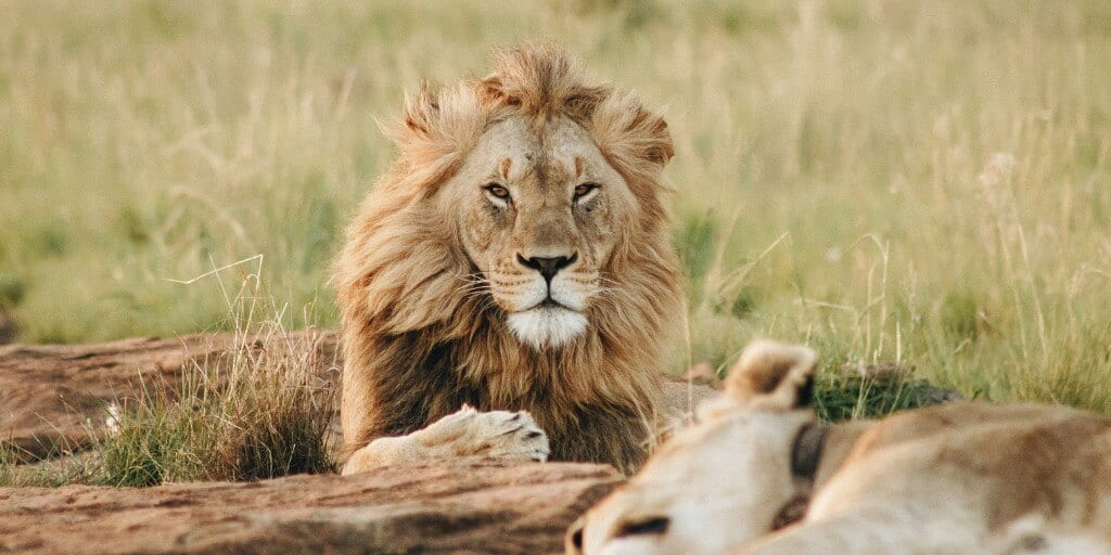 a pair of lions - the ultimate safari animas