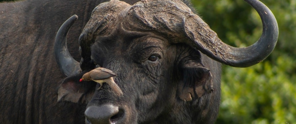 close up of cape buffalo head and horns, one of the big five