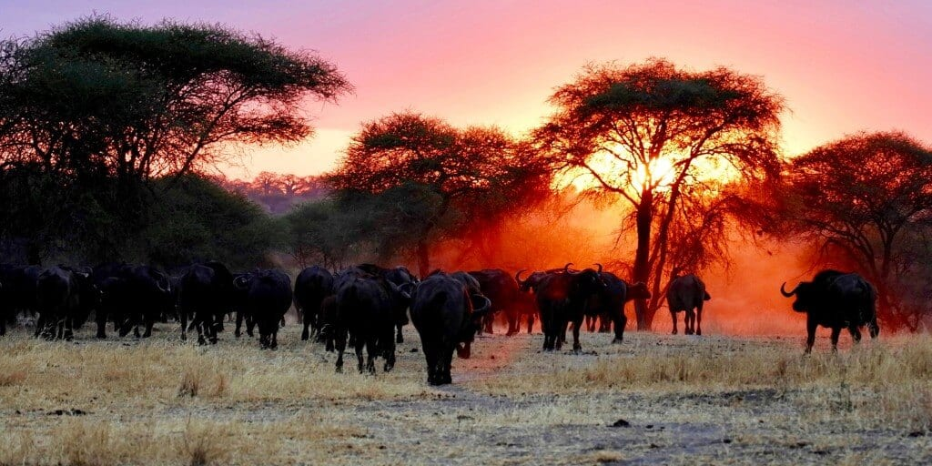 Herd of cape buffalo trudge towards trees into a rosy sunset