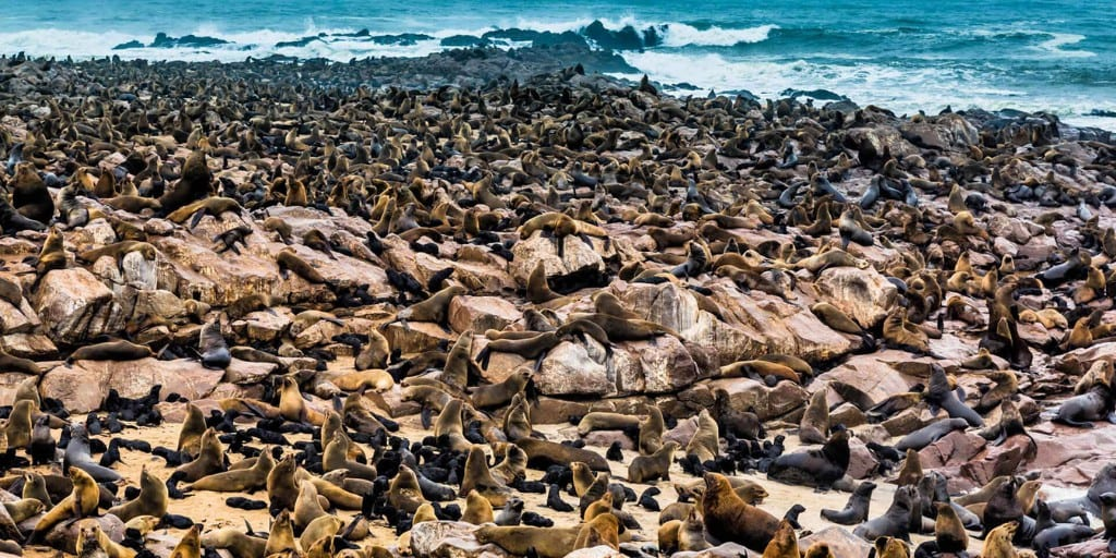 Thousands of seals lounging on rocks with the ocean in the far distance.