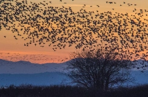 Panoramic shot of huge flock of birds silhouetted in sunset over mountain