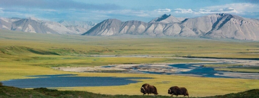 Two bison standing on prow of hill overlooking lush, wide valley with mountain backdrop in Alaska's Arctic National Wildlife Refuge