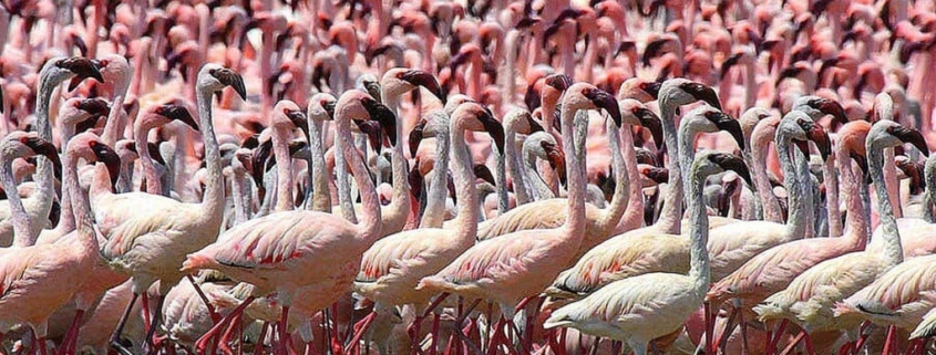 A flamboyance of flamingos with hundreds standing, packed tightly together