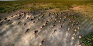 Ariel view of the great wildebeest migration in Tanzania's Serengeti, with dozens of wildebeest stampeding through green plains