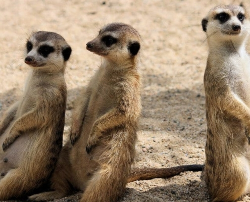 3 meerkats standing and looking - part of the shy five group of animals
