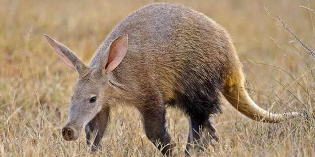 aardvark walks through short dry grass - one of the shy five animals