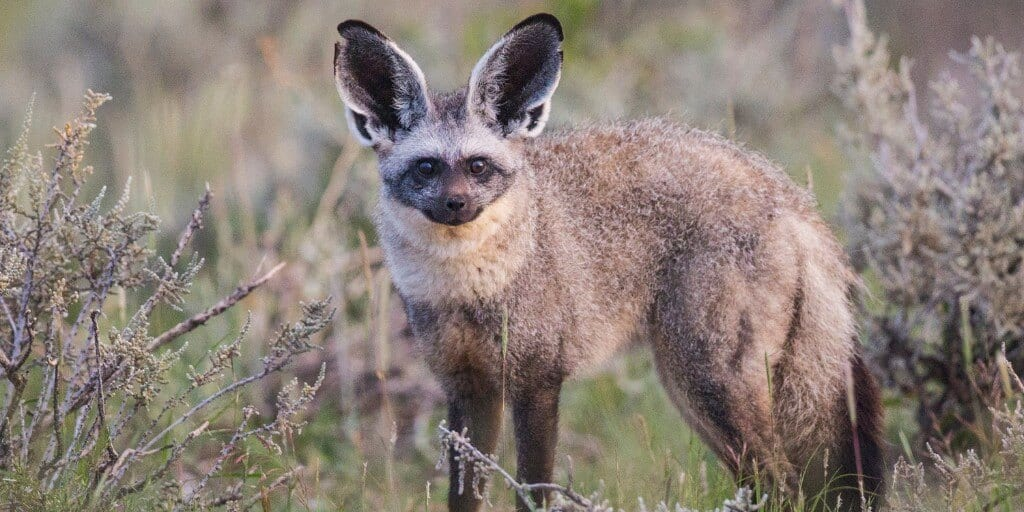 Bat eared fox (one of the shy five) standing, looking straight at camera in vegetation