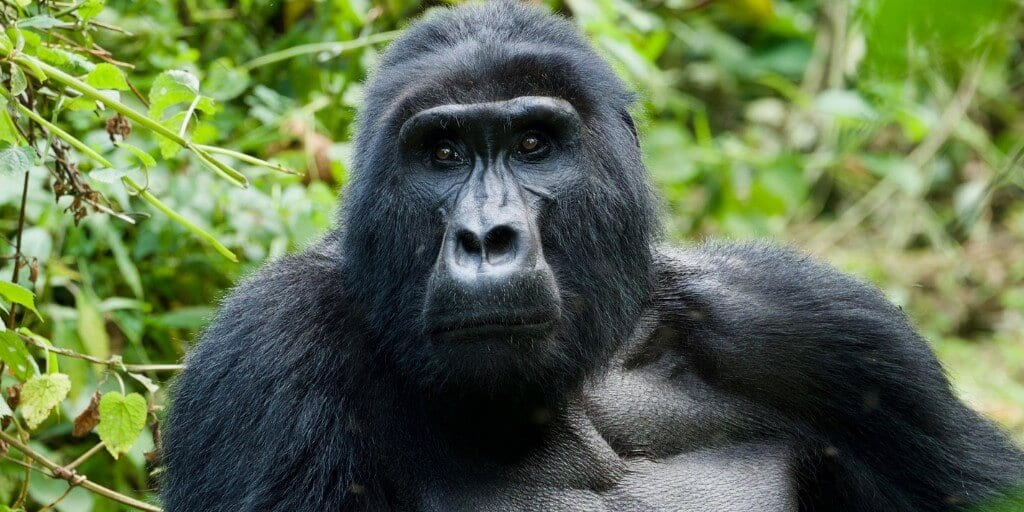 Close up front on head and shoulders of a femaile mountain gorilla sat in front of greenery