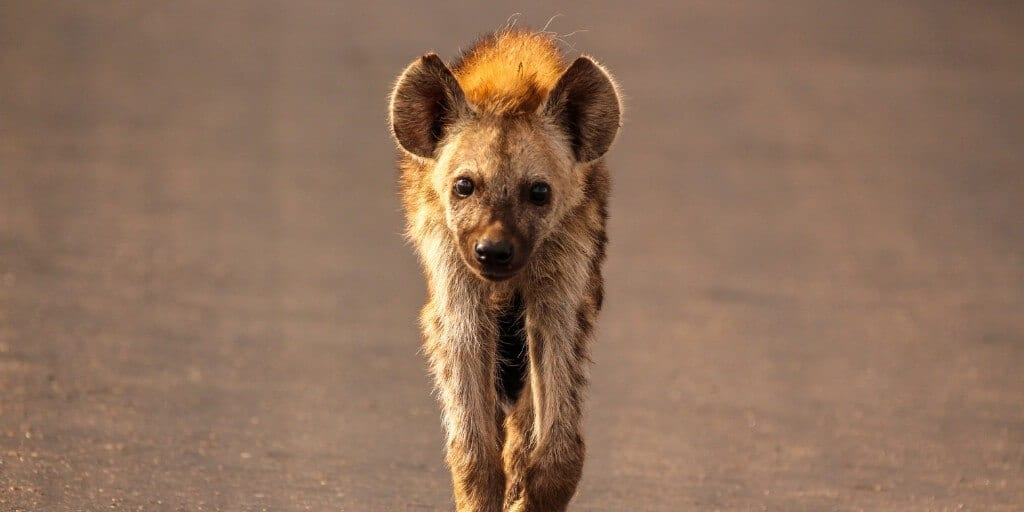 A hyena cub close up walking towards the camera along a tarmacced road. Cute, but still one of the ugly five animals!
