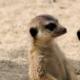 Family of 3 meerkats (of shy five fame) standing on hind legs looking alert
