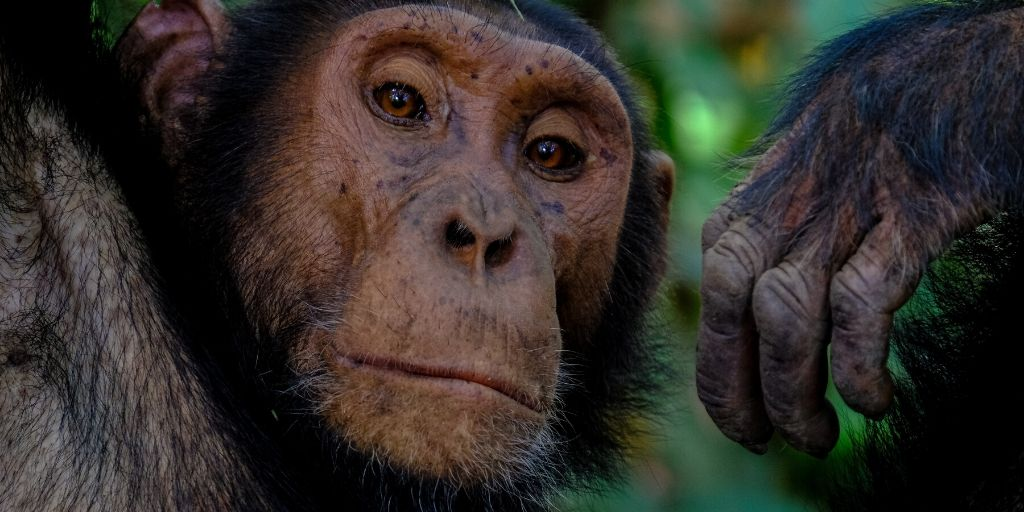 chimpanzee looks directly at camera with face and hand in shot