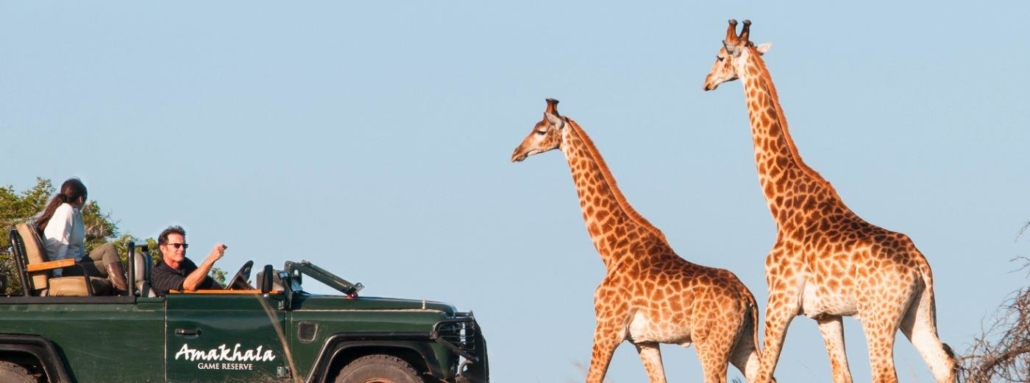 Safari jeep on a game drive with two giraffes approaching