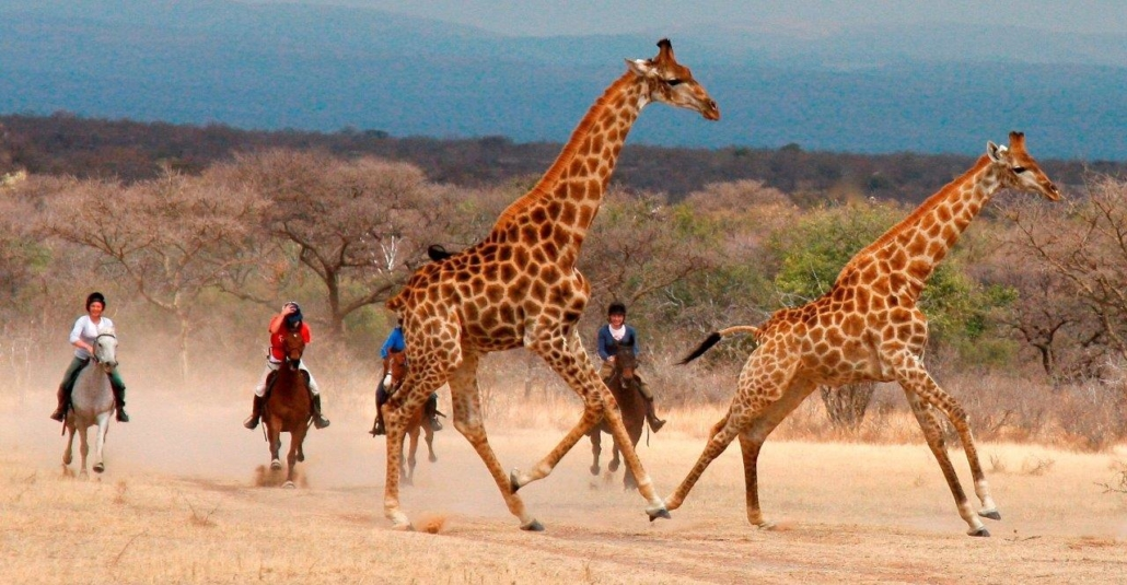 Four horseriders approaching two giraffes on dusty road
