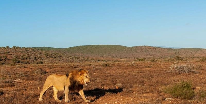 Male lion strolling through Kwandwe Private Game Reserve