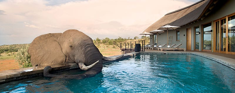 elephant drinking from swimming pool at luxury safari lodge