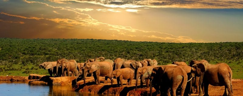 Elephant herd gather to drink at Addo Elephant park