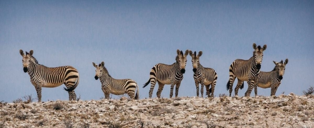 Family of 6 zebras on the horizon with blue sky behind