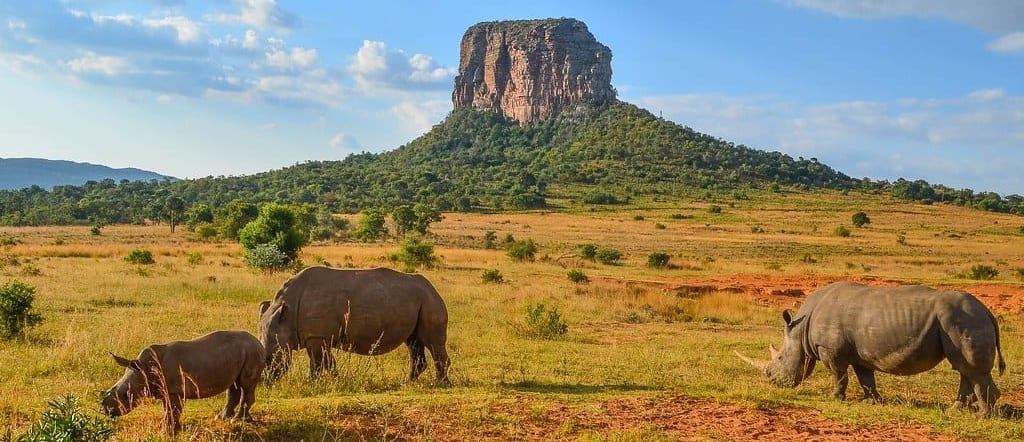rhinos grazing in sunshine in front of rocky outcrop