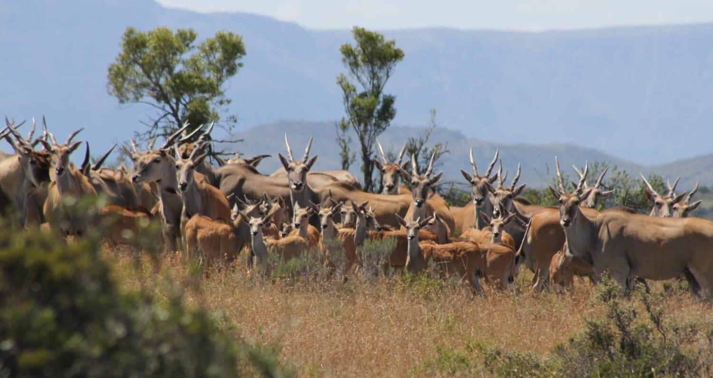 eland safari animals