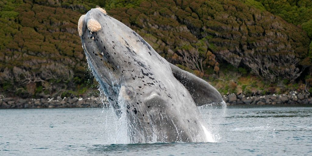 southern right whale breeching, with green land behind