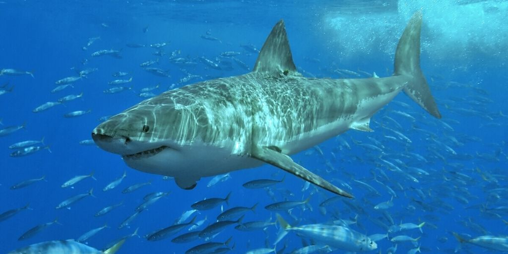 Great white shark cruising the ocean, surrounded by small fish