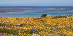 west coast national park in spring bloom, with flower field and sea in background