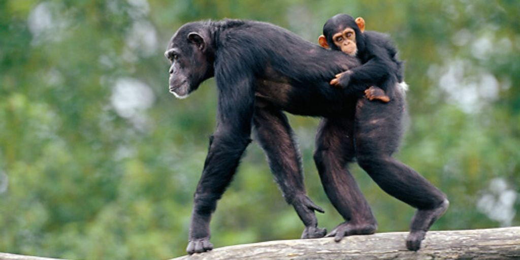 mother carrying baby chimpanzee on back