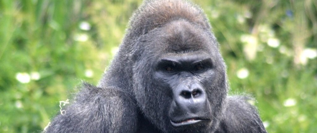 mountain gorilla - critically endangered african species