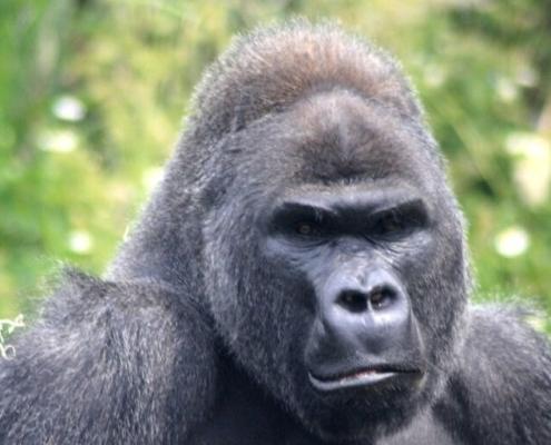 mountain gorilla - critically endangered african species