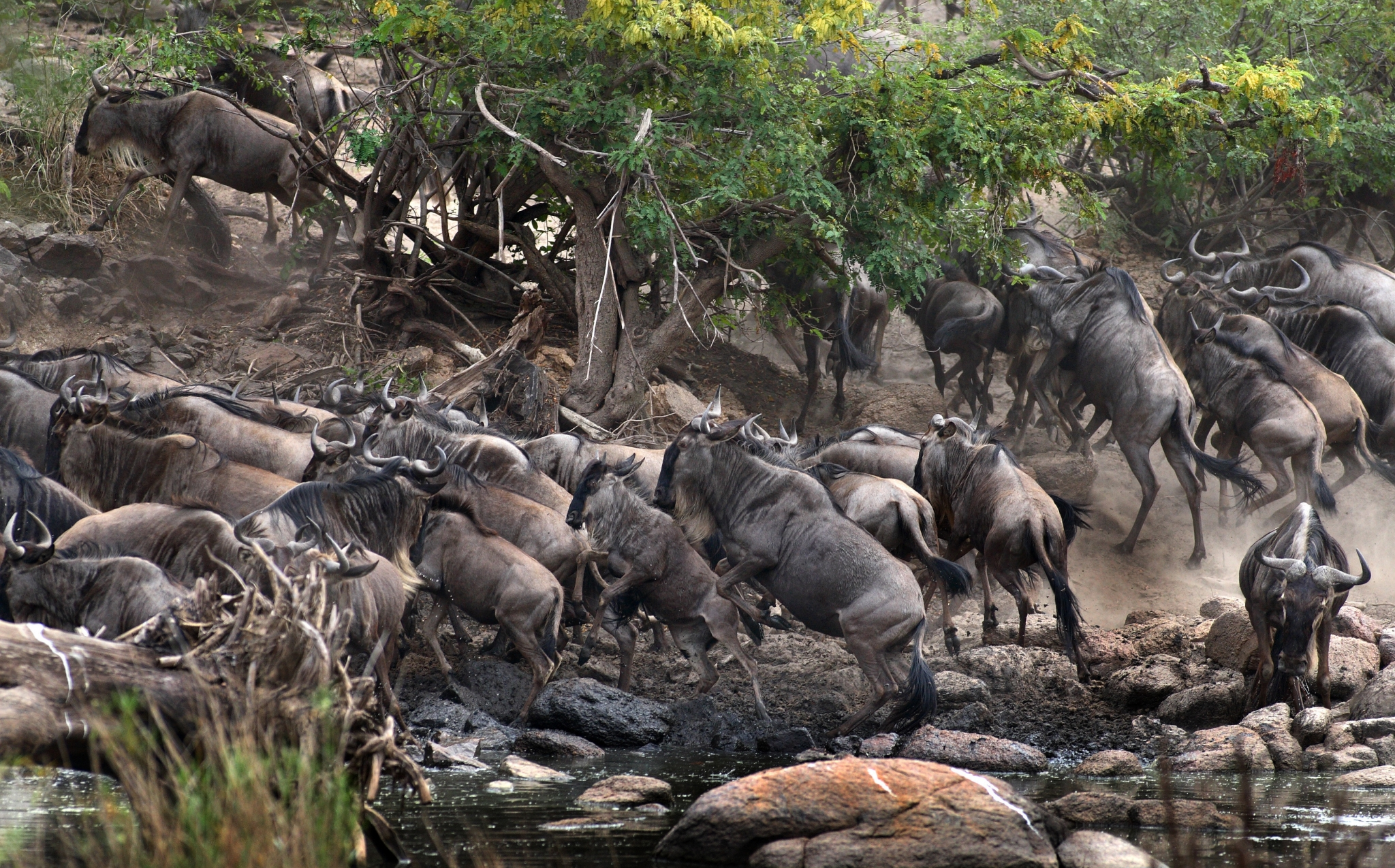 Wildebeest scrambling out of the Grumeti River