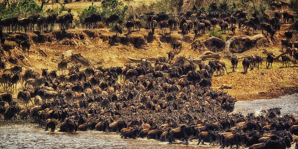 Great wildebeest migration - an african natural wonder