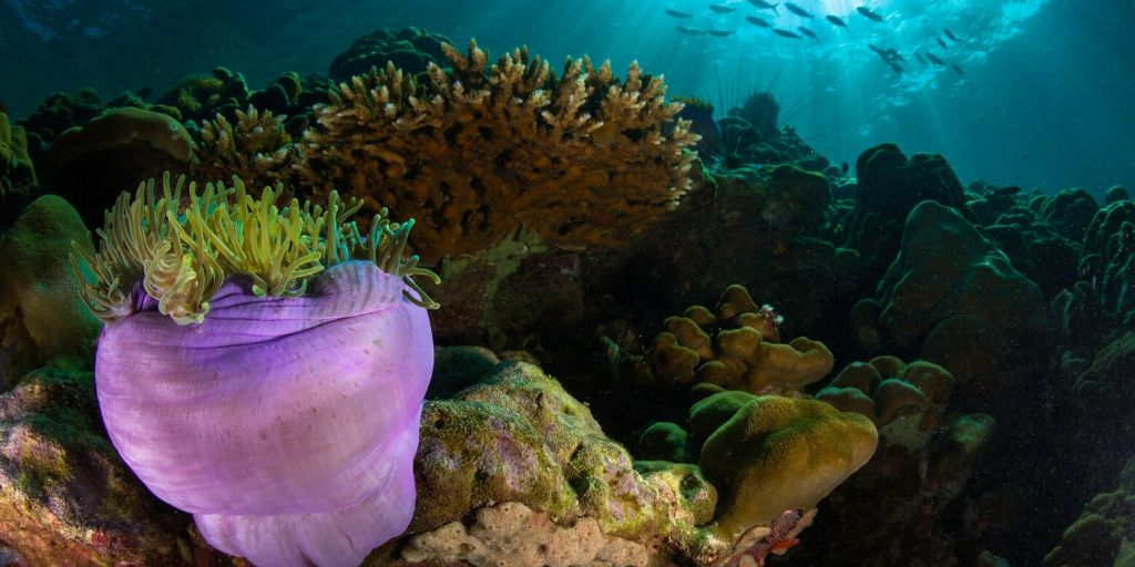 Large purple coral near Quilalea