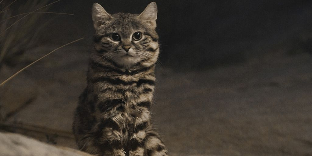 Black footed cat sitting upright