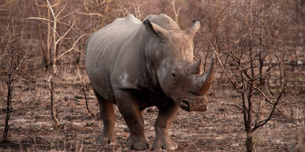 rhinoceros standing in barren scrub land
